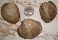 Littleneck Clams from Maine